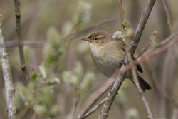 Chiffchaff photographed at Saumarez Park [SAU] on 1/4/2015. Photo: © Rod Ferbrache