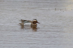 Garganey photographed at Claire Mare [CLA] on 2/4/2015. Photo: © Rod Ferbrache