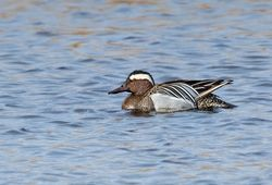 Garganey photographed at Claire Mare [CLA] on 2/4/2015. Photo: © Anthony Loaring