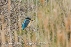 Kingfisher photographed at Claire Mare [CLA] on 4/4/2015. Photo: © Jason Friend