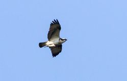 Osprey photographed at Fauxquets Valley [FAU] on 5/4/2015. Photo: © Vic Froome