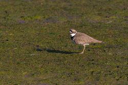 Little Ringed Plover photographed at Colin Best NR [CNR] on 5/4/2015. Photo: © Rod Ferbrache