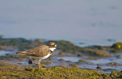 Little Ringed Plover photographed at Colin Best NR [CNR] on 5/4/2015. Photo: © Dan Scott