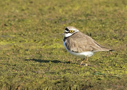 Little Ringed Plover photographed at Colin Best NR [CNR] on 5/4/2015. Photo: © Anthony Loaring