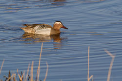 Garganey photographed at Claire Mare [CLA] on 6/4/2015. Photo: © Rod Ferbrache