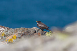 Ring Ouzel photographed at Pleinmont [PLE] on 8/4/2015. Photo: © Rod Ferbrache