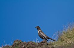 Ring Ouzel photographed at Pleinmont [PLE] on 8/4/2015. Photo: © Dan Scott