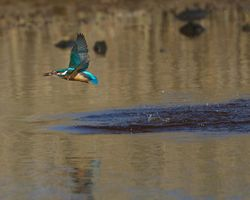 Kingfisher photographed at Claire Mare [CLA] on 7/4/2015. Photo: © Dan Scott