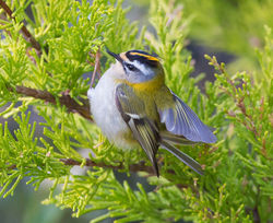 Firecrest photographed at St Peter Port [SPP] on 8/4/2015. Photo: © Mike Cunningham