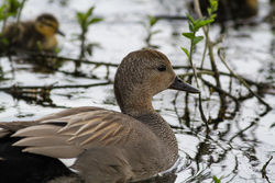 Gadwall photographed at Rue des Bergers [BER] on 9/4/2015. Photo: © Rod Ferbrache