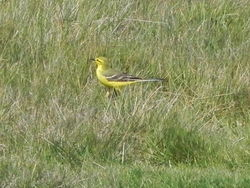 Yellow Wagtail photographed at Pleinmont on 10/4/2015. Photo: © Tony Bisson