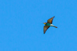 Bee-eater photographed at Bordeaux [BOR] on 12/4/2015. Photo: © Cindy  Carre