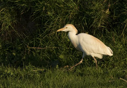 Cattle Egret photographed at Pleinmont [PLE] on 14/4/2015. Photo: © Anthony Loaring