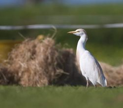 Cattle Egret photographed at Pleinmont [PLE] on 14/4/2015. Photo: © Dan Scott
