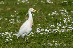 Cattle Egret photographed at Pleinmont [PLE] on 14/3/2013. Photo: © Cindy  Carre
