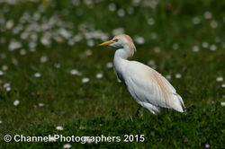 Cattle Egret photographed at Pleinmont [PLE] on 14/4/2015. Photo: © Jason Friend