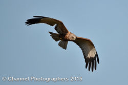 Marsh Harrier photographed at Rue des Bergers [BER] on 14/4/2015. Photo: © Jason Friend