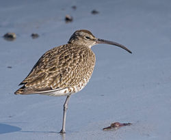 Whimbrel photographed at Richmond [RIC] on 20/4/2015. Photo: © Barry Wells