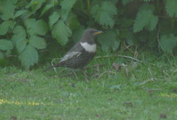 Ring Ouzel photographed at Jerbourg [JER]jer on 21/4/2015. Photo: © lorna harborow