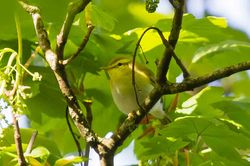 Wood Warbler photographed at St Peters Church [SP2] on 23/4/2015. Photo: © Adrian Gidney