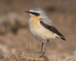Wheatear photographed at Pleinmont [PLE] on 27/4/2015. Photo: © Barry Wells