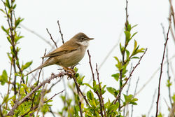 Whitethroat photographed at Pleinmont [PLE] on 1/5/2015. Photo: © Jason Friend