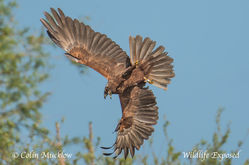 Marsh Harrier photographed at Rue des Bergers [BER] on 5/5/2015. Photo: © Colin Mucklow