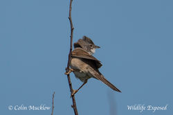 Whitethroat photographed at Pleinmont [PLE] on 7/5/2015. Photo: © Colin Mucklow