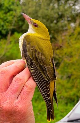 Golden Oriole photographed at Jerbourg [JER] on 10/5/2015. Photo: © Mark Guppy