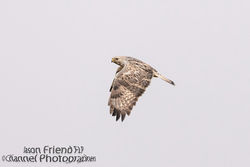 Rough-legged Buzzard photographed at Rue des Hougues, STA [H04] on 11/5/2015. Photo: © Jason Friend