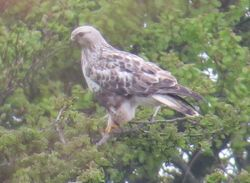 Rough-legged Buzzard photographed at Rue des Hougues, STA [H04] on 11/5/2015. Photo: © Wayne Turner