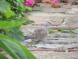 Turtle Dove photographed at Brock Road, St Peter Port on 13/5/2015. Photo: © Sarah Cash