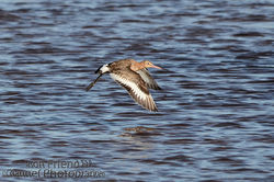 Black-tailed Godwit photographed at Claire Mare [CLA] on 20/5/2015. Photo: © Jason Friend