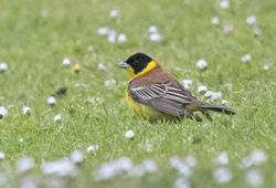 Black-headed Bunting photographed at Jerbourg [JER] on 23/5/2015. Photo: © Anthony Loaring