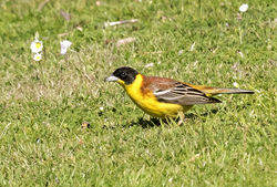 Black-headed Bunting photographed at Jerbourg [JER] on 24/5/2015. Photo: © Anthony Loaring