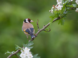 Goldfinch photographed at Bas Capelles [BAS] on 25/5/2015. Photo: © Rod Ferbrache