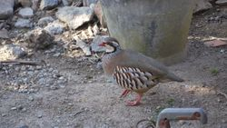 Red-legged Partridge photographed at Jerbourg [JER] on 26/5/2015. Photo: © lorna harborow