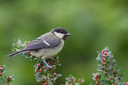 Great Tit photographed at Bas Capelles [BAS] on 30/5/2015. Photo: © Rod Ferbrache