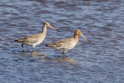 Black-tailed Godwit photographed at Claire Mare [CLA] on 5/6/2015. Photo: © Jason Friend