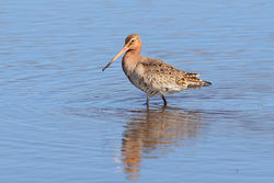 Black-tailed Godwit photographed at Claire Mare [CLA] on 6/6/2015. Photo: © Jason Friend