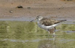 Green Sandpiper photographed at Claire Mare [CLA] on 9/6/2015. Photo: © Anthony Loaring