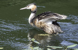 Great Crested Grebe photographed at St Saviour Reservoir  on 25/6/2015. Photo: © Colin Mucklow