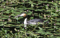 Great Crested Grebe. Photo: © Colin Mucklow