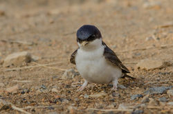 House Martin photographed at Pleinmont [PLE] on 2/7/2015. Photo: © Jason Friend