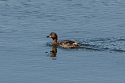 Little Grebe photographed at Reservoir [RES] on 10/7/2015. Photo: © Jason Friend