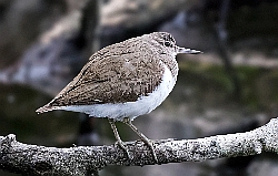 Common Sandpiper photographed at Reservoir [RES] on 18/7/2015. Photo: © Anthony Loaring