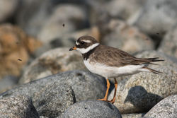 Ringed Plover photographed at Pulias [PUL] on 29/7/2015. Photo: © Rod Ferbrache