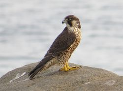 Peregrine photographed at Jaonneuse [JAO] on 1/8/2015. Photo: © Wayne Turner