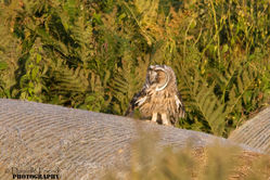 Long-eared Owl. Photo: © Danielle Friend