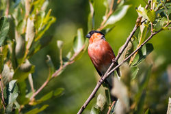 Bullfinch photographed at Garenne [GAR] on 2/8/2015. Photo: © Andy Marquis